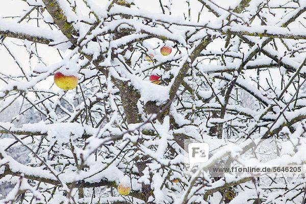 Winter-Apfelbaum