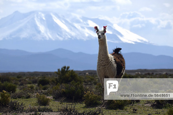 Llama or Lama (Lama glama) standing in front the snow-capped peaks of the high Andes  near Uyuni  Bolivian Altiplano  border triangle of Bolivia  Chile and Argentina  South America