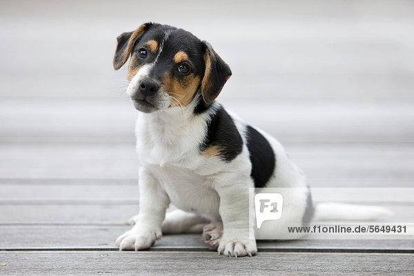 jack russell terrier welpen kaufen österreich