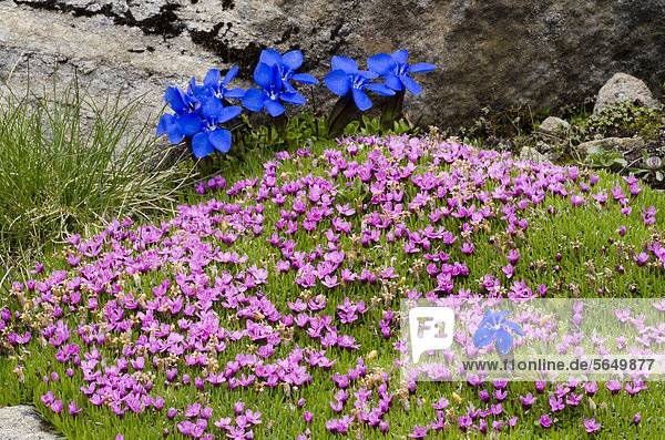Moss Campion or Cushion Pink (Silene acaulis)  Gamsgrube  Hohe Tauern National Park  Carinthia  Austria  Europe