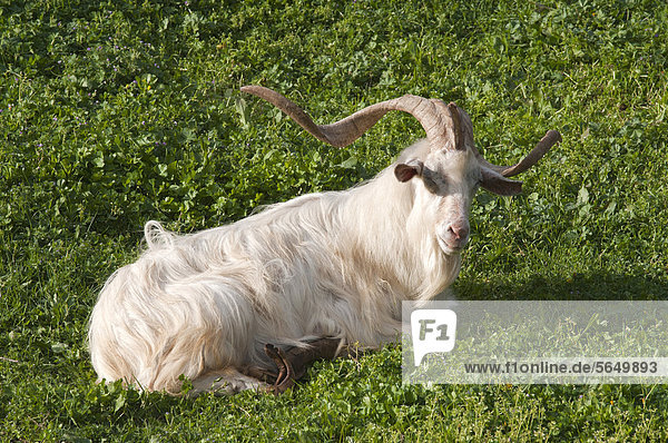 Domestic goat with overgrown hooves  Aggius  Sardinia  Italy  Europe