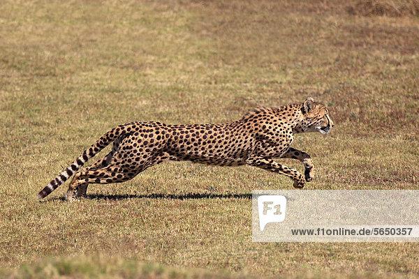 Gepard (Acinonyx jubatus)  adult  jagend  rennend  Südafrika  Afrika