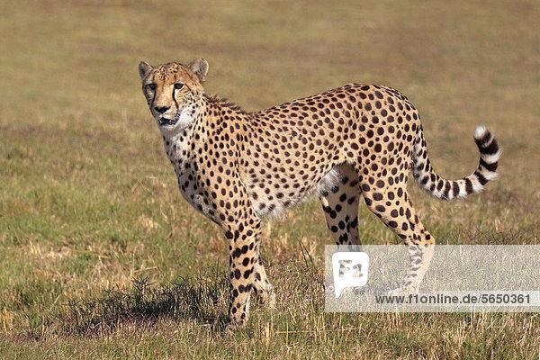 Gepard (Acinonyx jubatus)  adult  wachsam  Südafrika  Afrika