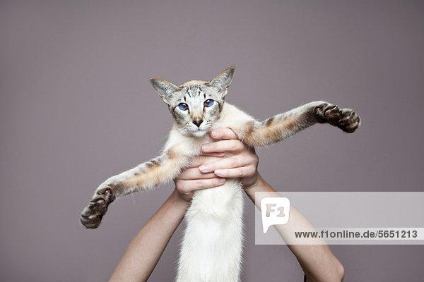 Person  die eine siamesische Katze hochhält