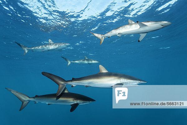 Bodenhöhe Karibik Mittelamerika Hai schwimmen Seide unterhalb Karibisches Meer