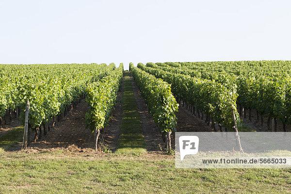 Weinberg  Bordeaux  Frankreich