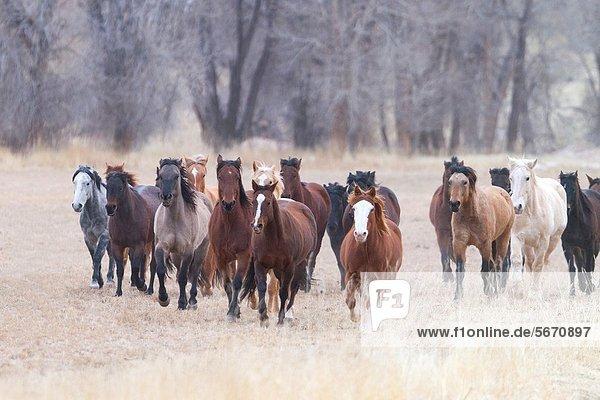 Vereinigte Staaten von Amerika  USA  Quarter Horse  Wyoming
