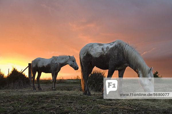 Camarguepferde (Equus caballus) auf einer Weide  Camargue  Südfrankreich  Frankreich  Europa Camarguepferde (Equus caballus) auf einer Weide, Camargue, Südfrankreich, Frankreich, Europa