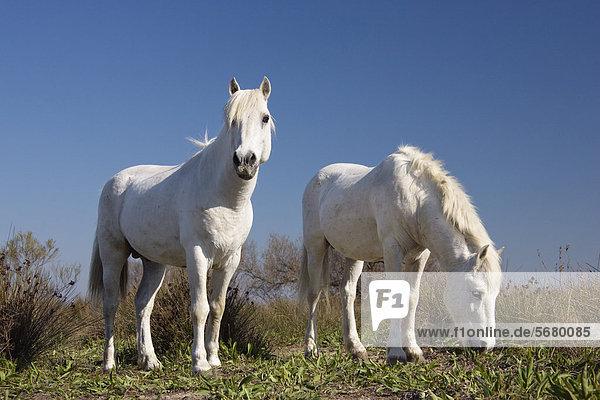 Camarguepferde (Equus caballus)  Hengste  Camargue  Südfrankreich  Frankreich  Europa Camarguepferde (Equus caballus), Hengste, Camargue, Südfrankreich, Frankreich, Europa