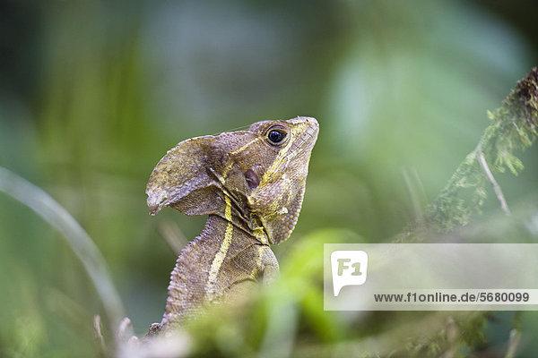 Basilisk (Basiliscus basiliscus) im Tiefland-Regenwald  Braulio-Carrillo Nationalpark  Costa Rica  Mittelamerika Basilisk (Basiliscus basiliscus) im Tiefland-Regenwald, Braulio-Carrillo Nationalpark, Costa Rica, Mittelamerika