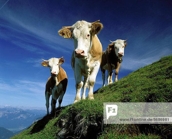 Drei Kühe auf der Alm  Söll  Österreich Drei Kühe auf der Alm, Söll, Österreich