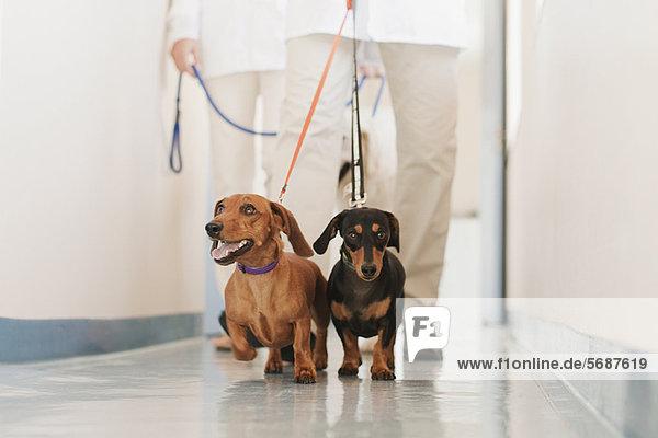 Tierärztliche Laufhunde im Krankenhaus