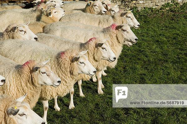 stehend  Zusammenhalt  Schaf  Ovis aries  Herde  Herdentier  Vogelschwarm  Vogelschar stehend ,Zusammenhalt ,Schaf, Ovis aries ,Herde, Herdentier ,Vogelschwarm, Vogelschar