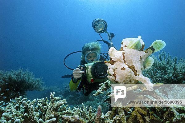 Taucher fotografiert Großen Anglerfisch oder Riesenanglerfisch (Antennarius commersoni)  Mindoro  Philippinen  Asien  Pazifik