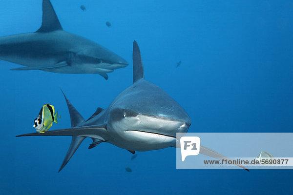Galapagos-Hai (Carcharhinus galapagensis)  mit Putzerfischen  Barbier Falterfisch (Johnrandallia nigrirotris)  Roca Partida  Revillagigedo-Inseln  Mexiko  Amerika  Ost-Pazifik