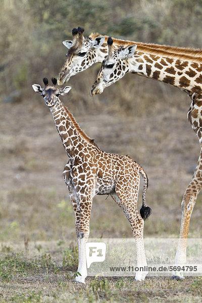 Massai-Giraffen (Giraffa camelopardalis tippelskirchi) mit Jungem  Arusha Nationalpark  Tansania  Ostafrika  Afrika Massai-Giraffen (Giraffa camelopardalis tippelskirchi) mit Jungem, Arusha Nationalpark, Tansania, Ostafrika, Afrika