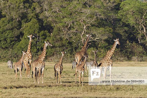 Massai-Giraffen (Giraffa camelopardalis tippelskirchi)  Regenwald  Arusha Nationalpark  Tansania  Ostafrika  Afrika