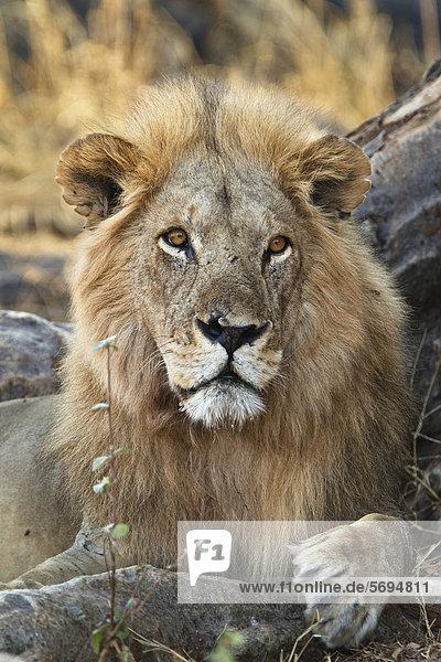 Afrikanischer Löwe (Panthera leo)  Männchen  Ruaha Nationalpark  Tansania  Ostafrika  Afrika Afrikanischer Löwe (Panthera leo), Männchen, Ruaha Nationalpark, Tansania, Ostafrika, Afrika