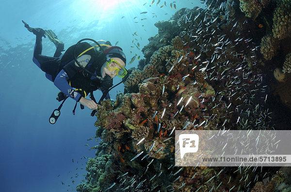 Taucher mit Glasfischen (Parapriacanthus guentheri)  Rotes Meer  Ägypten  Afrika