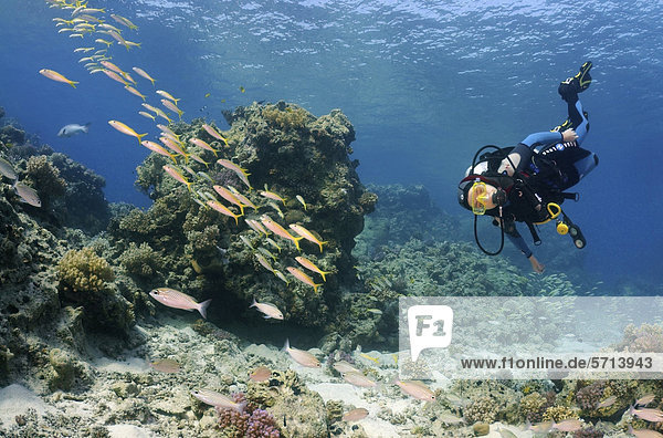 Taucher mit Gelbflossenbarben (Mulloidichthys vanicolensis)  Rotes Meer  Ägypten  Afrika