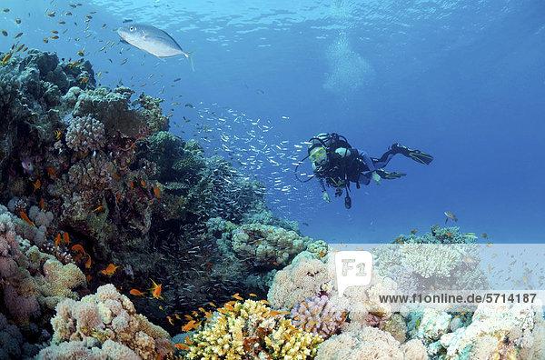 Taucher und Glasfische (Parapriacanthus guentheri)  Rotes Meer  Ägypten  Afrika