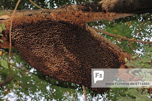 Wildes Bienennest der Riesen-Honigbiene (Apis dorsata)  Keoladeo Ghana Nationalpark  Rajasthan  Indien  Asien