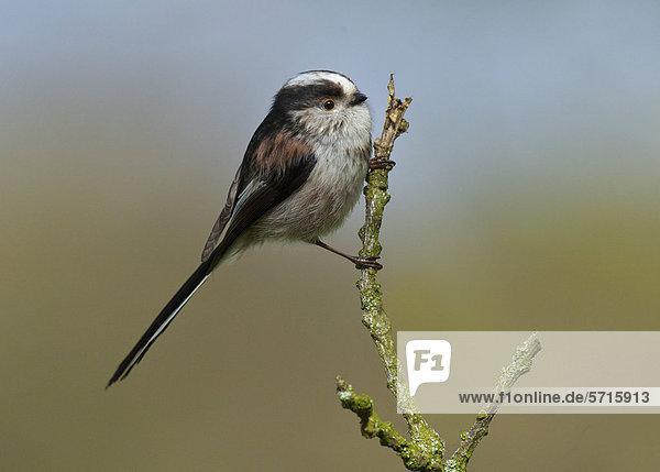 Schwanzmeise (Aegithalos caudatus)  Altvogel auf Zweig  Islesteps  Dumfries and Galloway  Schottland  Vereinigtes Königreich  Europa