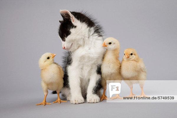 Kätzchen und Küken Kätzchen und Küken