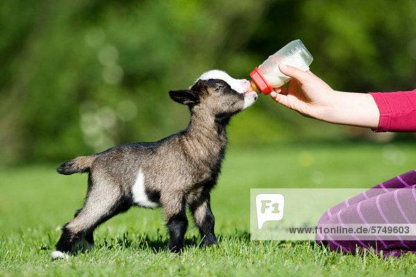Person  die Ziegenkinder füttert  Milchflasche Person, die Ziegenkinder füttert, Milchflasche