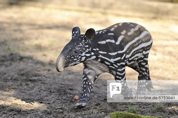 Junger Schabrackentapir (Tapirus indicus) Junger Schabrackentapir (Tapirus indicus)