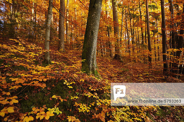 Buchenwald im Herbst