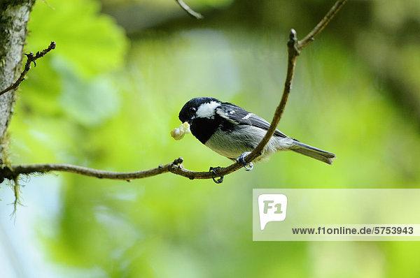 Tannenmeise (Parus ater) auf einem Ast