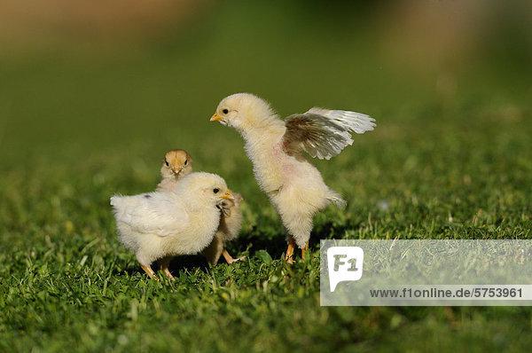 Drei Hühnerküken im Gras Drei Hühnerküken im Gras