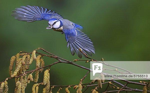 Blaumeise  Parus caeraleus