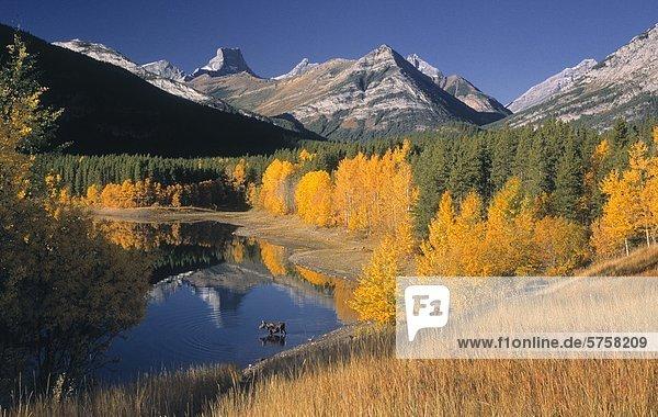 Elch in Wedge Pond in Herbstfarben  Kananaskis Country  Alberta  Kanada.