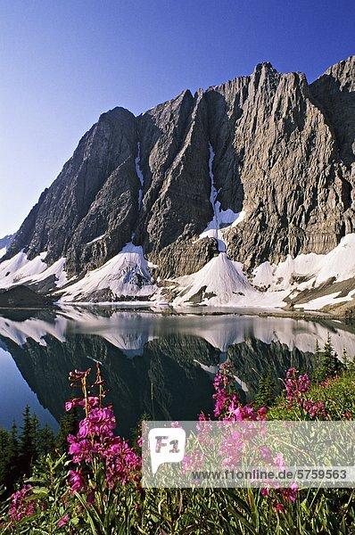 Schmalblättriges Weidenröschen Blumen (Epilobium Angustifolium) Floe Lake  die Felswand  Kootenay Nationalpark  British Columbia  Kanada.