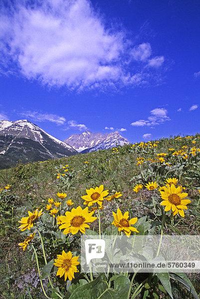 Balsamroot Blumen  Waterton Nationalpark  Alberta  Kanada