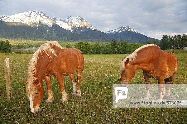 Zwei belgische Entwurf Pferde im Feld nahe Smithers  Britisch-Kolumbien  Kanada
