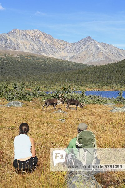Backpacker gerade Woodland Caribou Bullen  Tonquin Tal  Jasper Nationalpark  Alberta