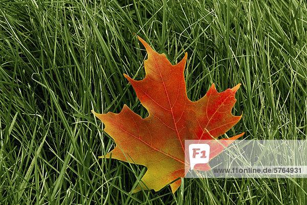 Ahornblatt im Herbst  Ottawa  Ontario  Kanada