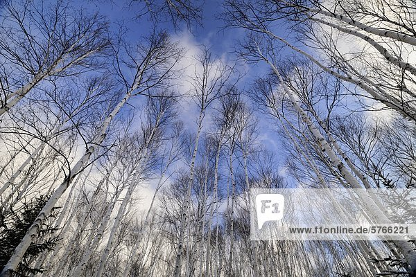 Birch trees in a winter woodlot  Lively  Greater Sudbury  Ontario  Canada