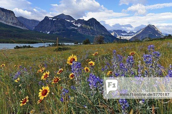 Prärie Wildblumen  Kokardenblume und Lupine  viele Gletschergebiet des Glacier National Park  Montana  Vereinigte Staaten von Amerika