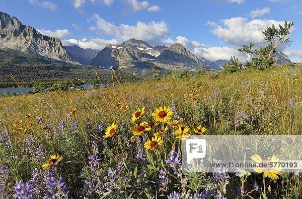 Kokardenblume und Lupine  Glacier National Park  Montana  Vereinigte Staaten von Amerika