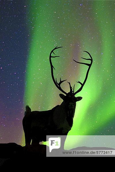 Stier Karibu (Rangifer Tarandus) silhouetted gegen die Nordlichter  Barrenlands  zentrale Nordwest-Territorien Kanadas Arktis