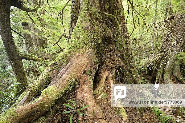 Eine Frau geht der Big Tree Trail Boardwalk auf Meares Island in der Nähe von Tofino im Clayoquot Sound. Ein alten Rotzeder-Lebensbaum (Thuja Plicata) Baum ragt in den Vordergrund. First Nations begann  um den Bereich zu speichern  aus einloggen 1984 protestieren und erklärte das Gebiet ein Tribal Park. Gesetzliche Schutzmaßnahmen Status wurde noch nicht erreicht  Vancouver Island  British Columbia  Kanada.