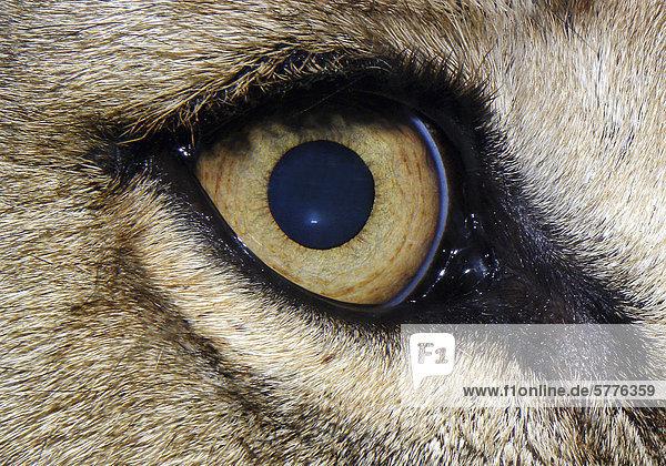 Auge eines Löwen Auge eines Löwen