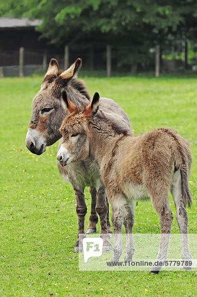 Donkey (Equus asinus asinus)  a mare and a foal standing in the pasture  North Rhine-Westphalia  Germany  Europe
