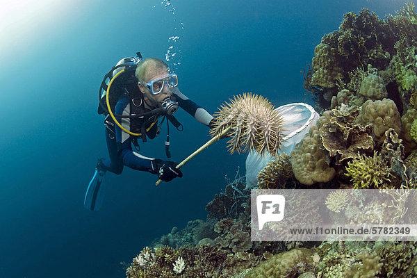 Taucher entfernt Dornenkronen-Seesterne (Acanthaster planci)  die ein ganzes Korallenriff zerstören können  Moalboal  Cebu  Negros  Philippinen  Asien  Pazifik