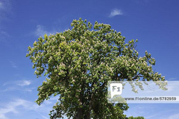 Blühende Gewöhnliche Rosskastanie (Aesculus hippocastanum) gegen blauen Himmel  Dennenlohe  Mittelfranken  Bayern  Deutschland  Europa