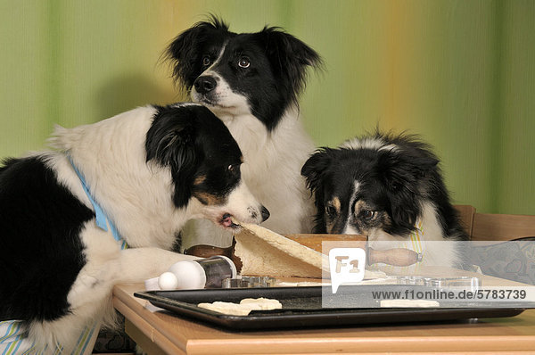 Three Border Collies making biscuits  one dog pulling the dough